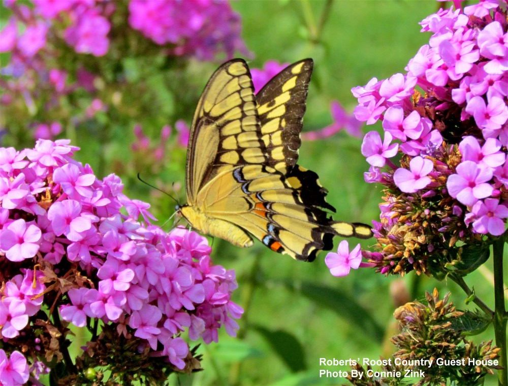 Giant Swallowtail on Garden Phlox