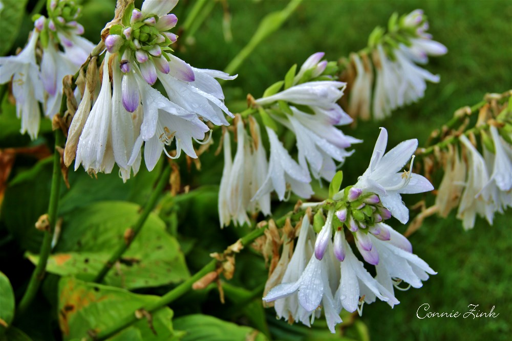 Fragrant Hostas