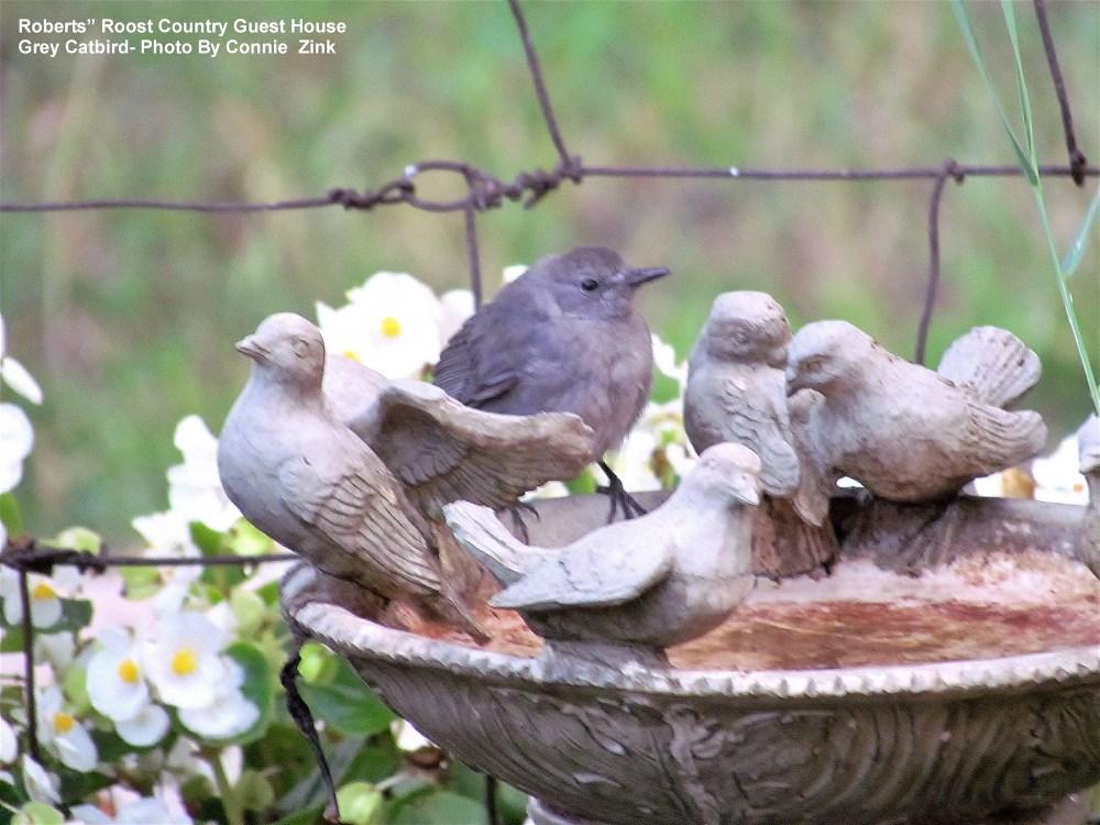 "Gray Catbird ""Fluffy"""