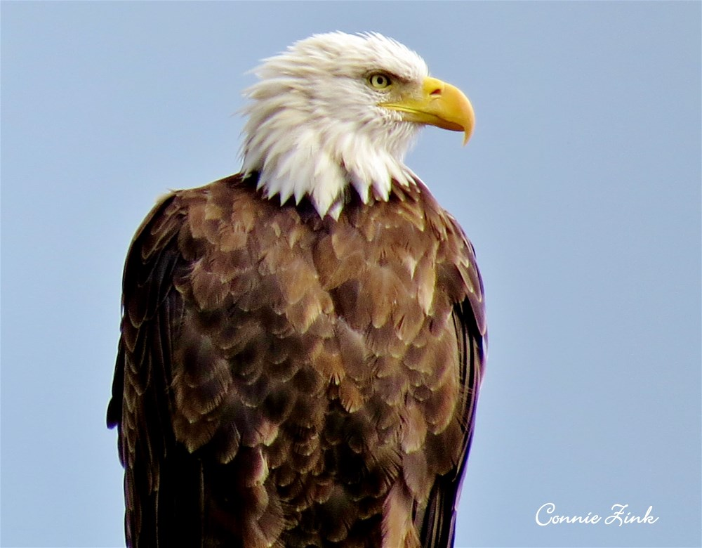 Bald Eagle at Lost Mound Unit