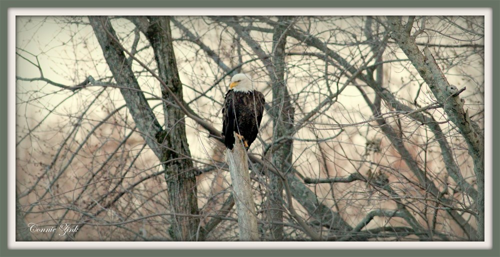 Bald Eagle Photo Taken at Savanna-Sabula Bridge
