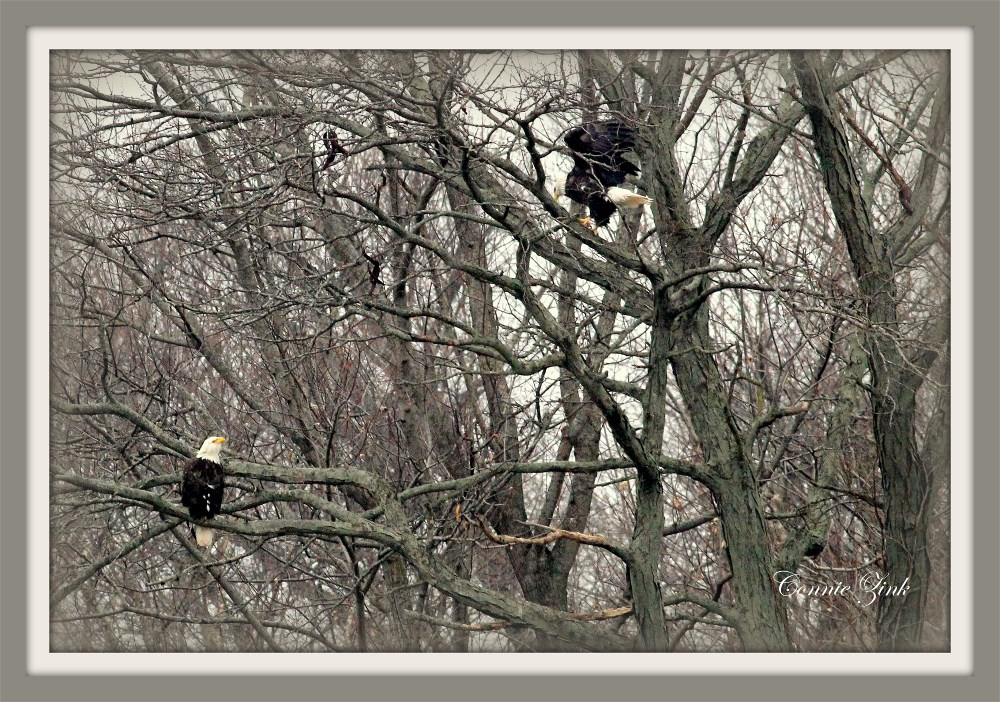 Bald Eagles at Lock and Dam 13