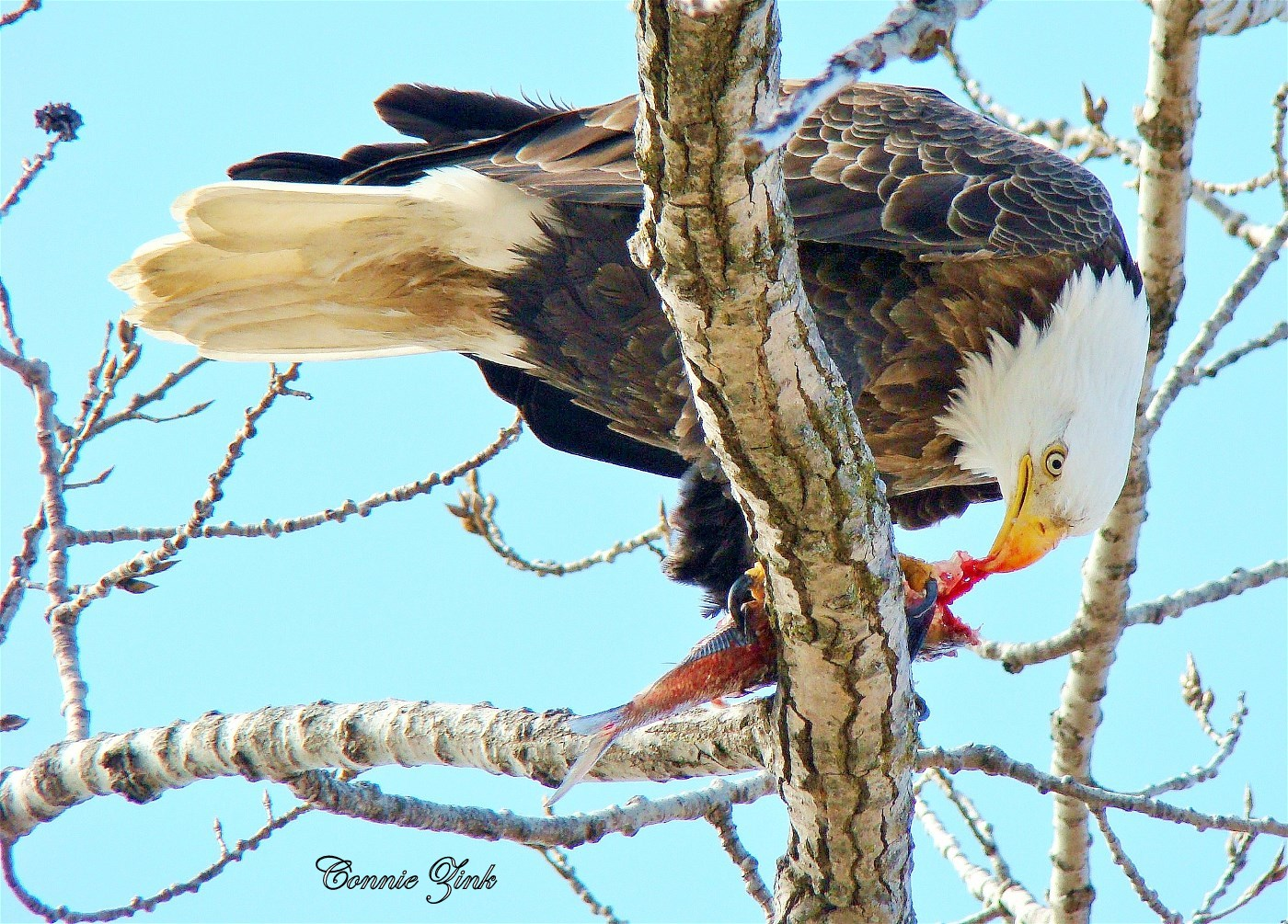 Bald Eagle eating Fish at Sabula, Iowa