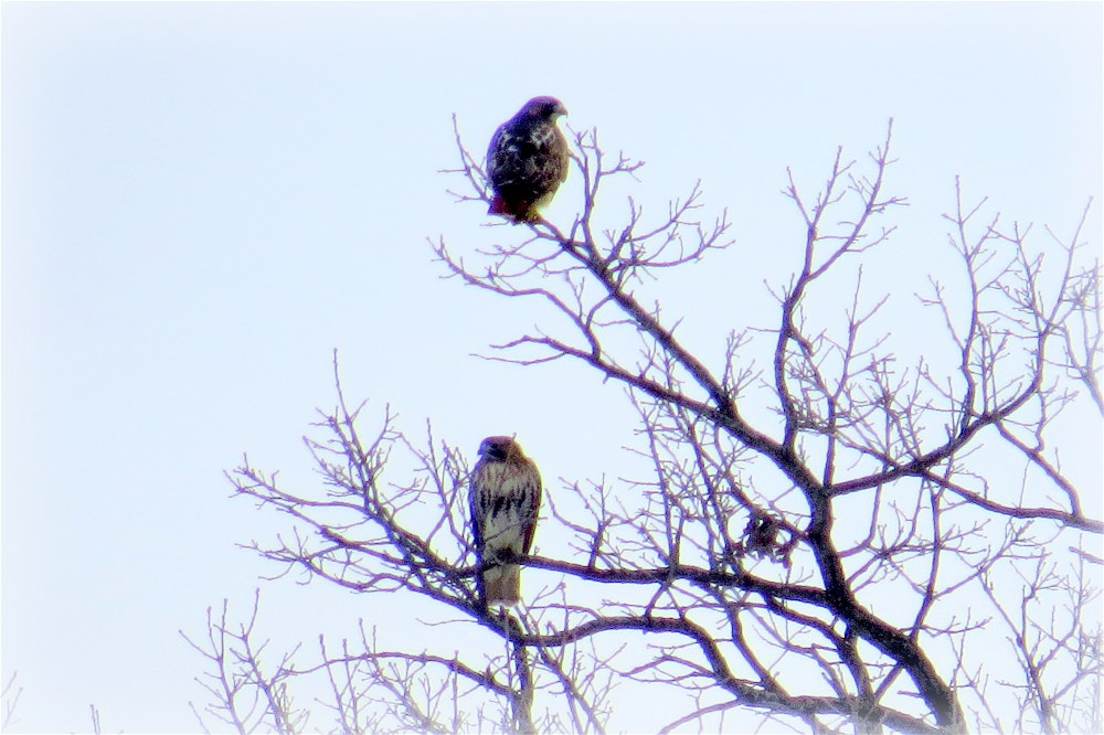 Red-tail Hawks