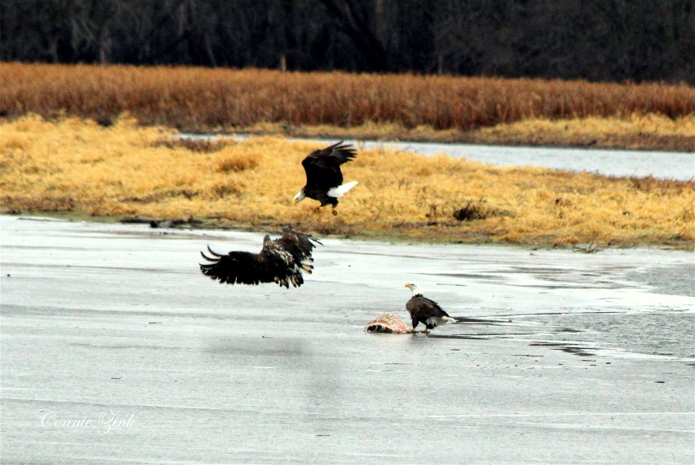 Bald Eagles in Sabula Iowa