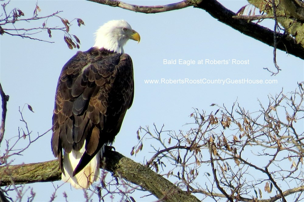 Bald Eagle at Roberts' Roost 4 3 8 2015 web