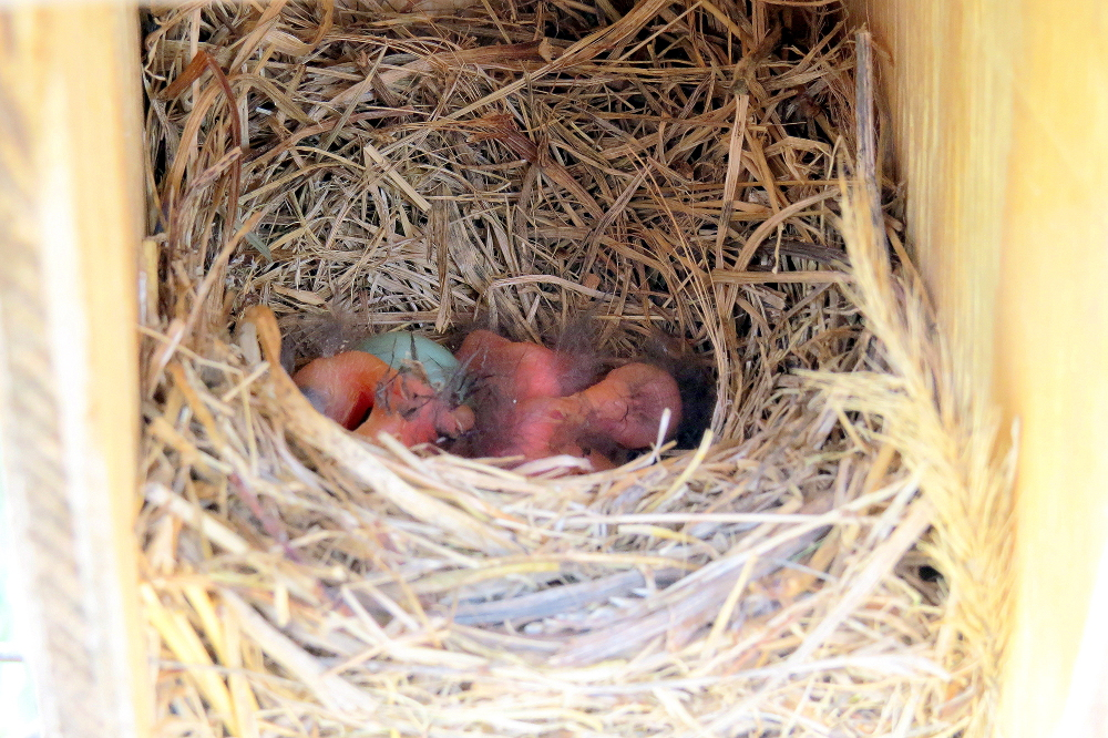 Day 1 May 9th 2015 Three of the Four Eggs Have Hatched.