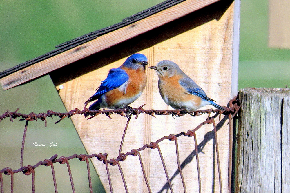 """Gus"" and ""Eliza"" the Eastern Bluebirds of Summer 2015"