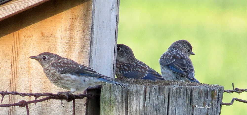 First Brood Juvenile Baby Bluebirds  6 23 2015 021 website