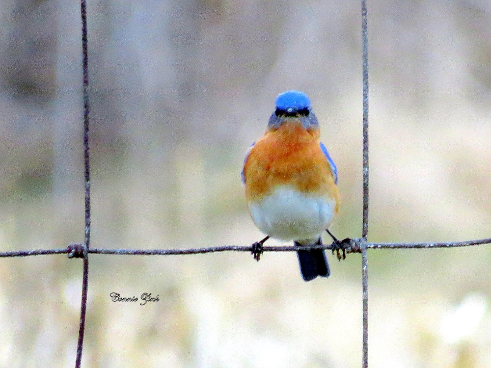 Mr. Bluebird Waiting For His Waxworms