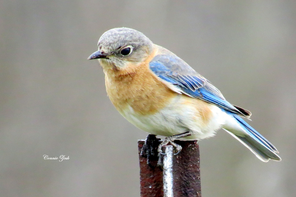 Eastern Bluebirds Roberts' Roost Country Guest House